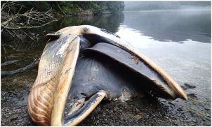 鯨魚擱淺的內幕揭密
